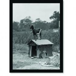 Quadro Poster Animais Cabra