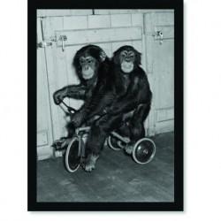 Quadro Poster Animais Macaco