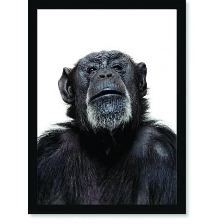 Quadro Poster Animais Chimpanzé